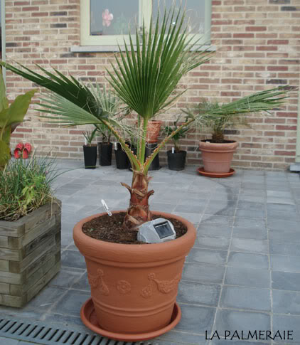 Washingtonia filifera 19 maanden