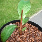 ensete-ventricosum-maurelli-200906