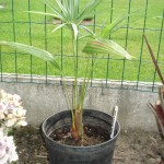 trachycarpus-princeps-green-200906