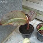 canna-musafolia-rubrum-20090717
