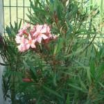 oleander-nerum-200906
