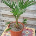 trachycarpus-wagnerianus-200906