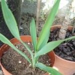 yucca-filamentosa-200908