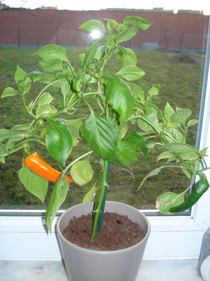 roemeense-paprika