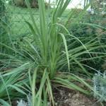 Cordyline australis 201008