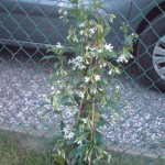 Toscaanse jasmijn 20100626