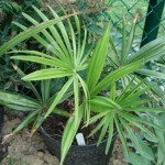 Trachycarpus sp Nova 201008
