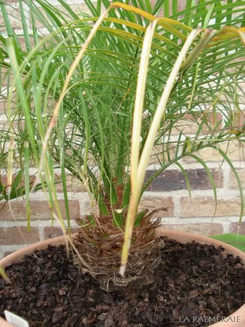 phoenix roebelenii dattier nain palmier la palmeraie fr