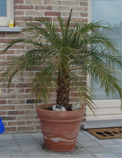 le forum des fous de palmiers help un palmier dans l 39 int rieur de mon s jour nantes. Black Bedroom Furniture Sets. Home Design Ideas