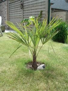 Conseils de la semence de palmiers semer un palmier la palmeraie fr - Engrais pour palmier ...