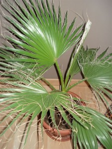 washingtonia-f2009-02-27