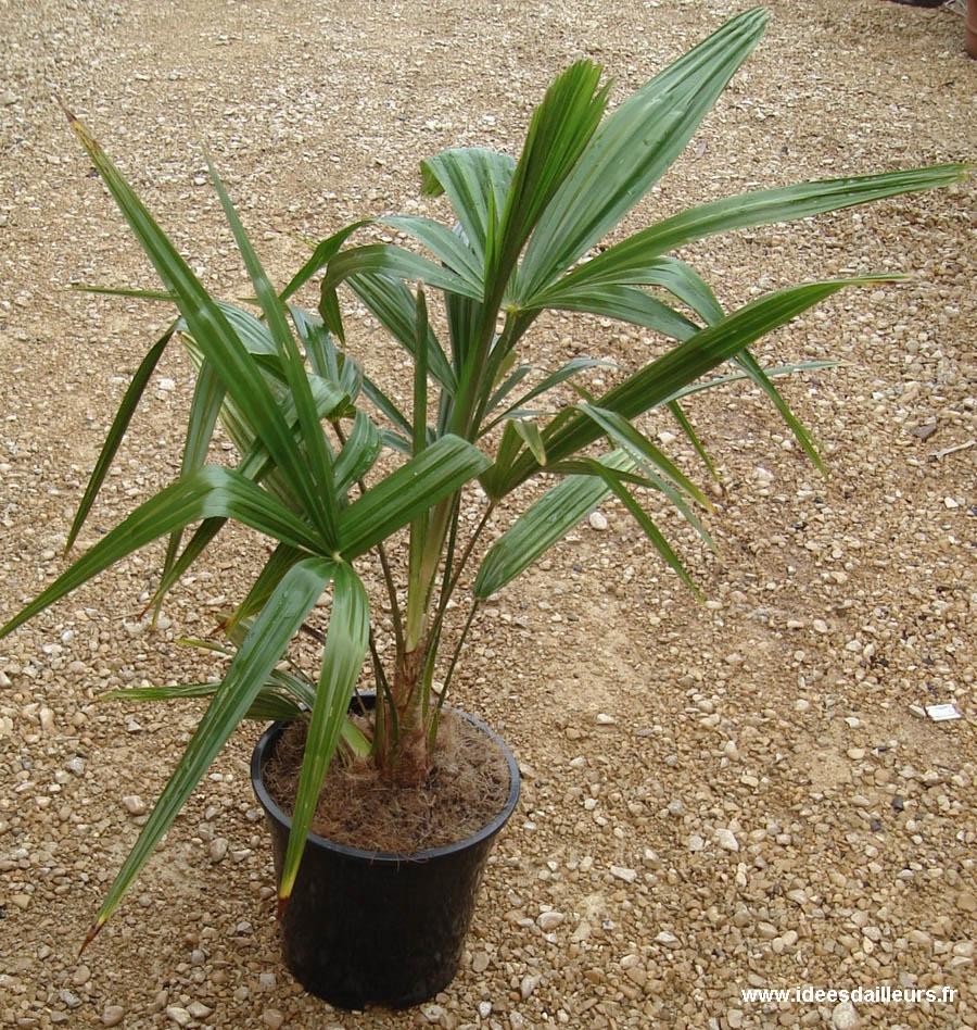 Trachycarpus fortunei palmier chanvre palmier de for Palmier d exterieur resistant au froid
