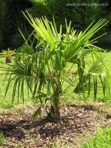 trachycarpus-fortunei-2