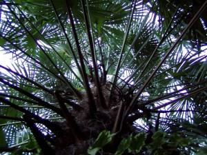 trachycarpus-fortunei-4