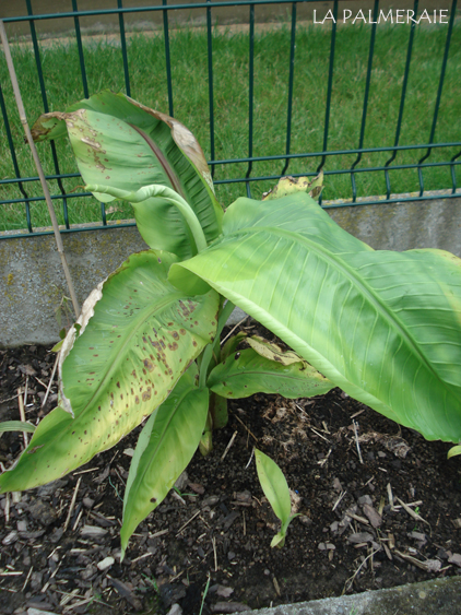 Musa basjoo | Bananier du Japon | Bananier | | La Palmeraie fr
