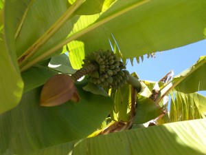 musa-basjoo-with-leaves-flowers