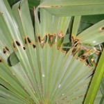 palmmot1