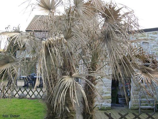 palmier qui meurt