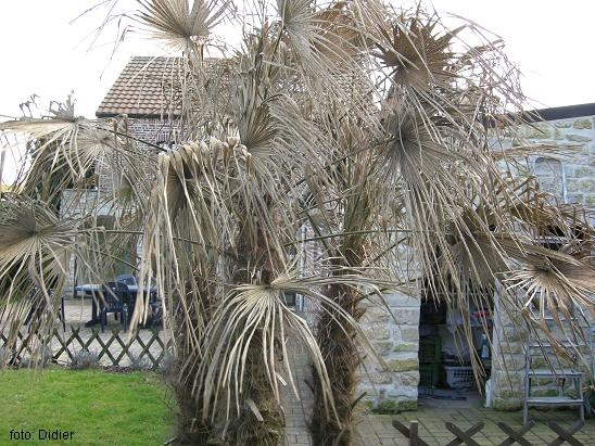 palmier washingtonia feuilles jaunes