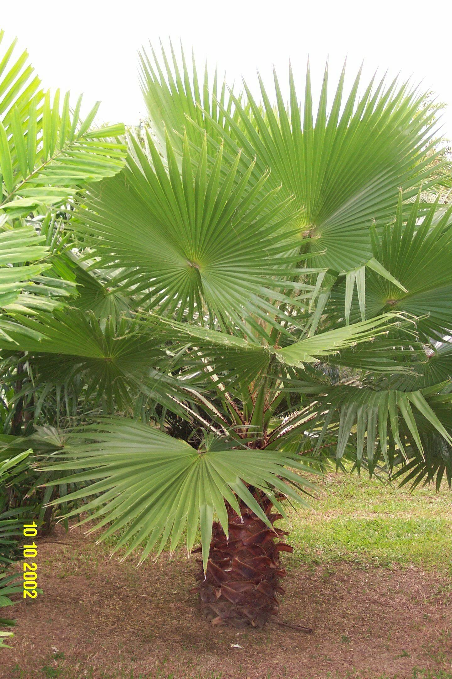 washingtonia robusta palmier du mexique palmier de washinton la palmeraie fr