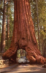 SequoiaWawona_Tree_Yosemite