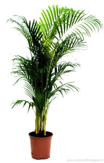 Areca palm verzorging