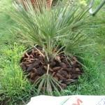 Aanplant palm 6