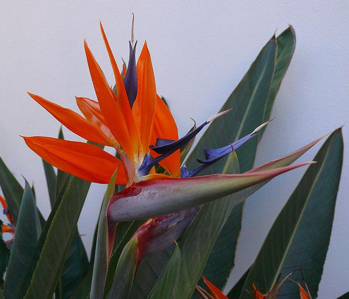 bloem voor tuin die lang goed blijft