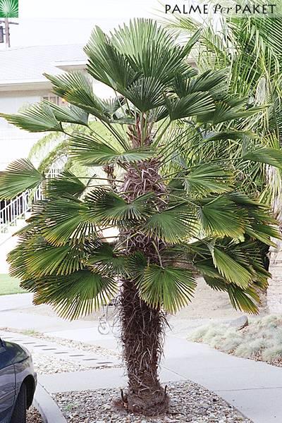 Trachycarpus wagnerianus x winsan