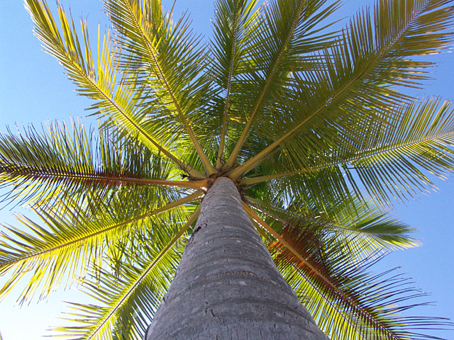 coconut-palm-771504