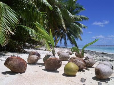 cocos nucifera00