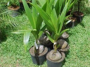 palmcoconut04