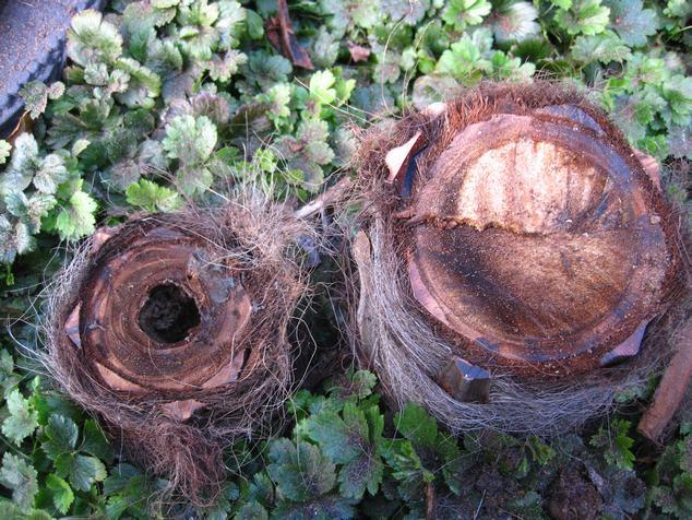 palmiers comment traiter la pourriture de la lance la
