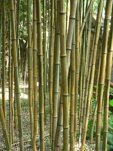 Woekerende en niet woekerende bamboe  alle info op een rij!   La Palmeraie