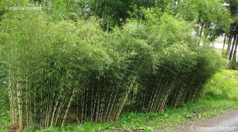 tout ce qu il faut savoir sur le bambou la palmeraie fr. Black Bedroom Furniture Sets. Home Design Ideas