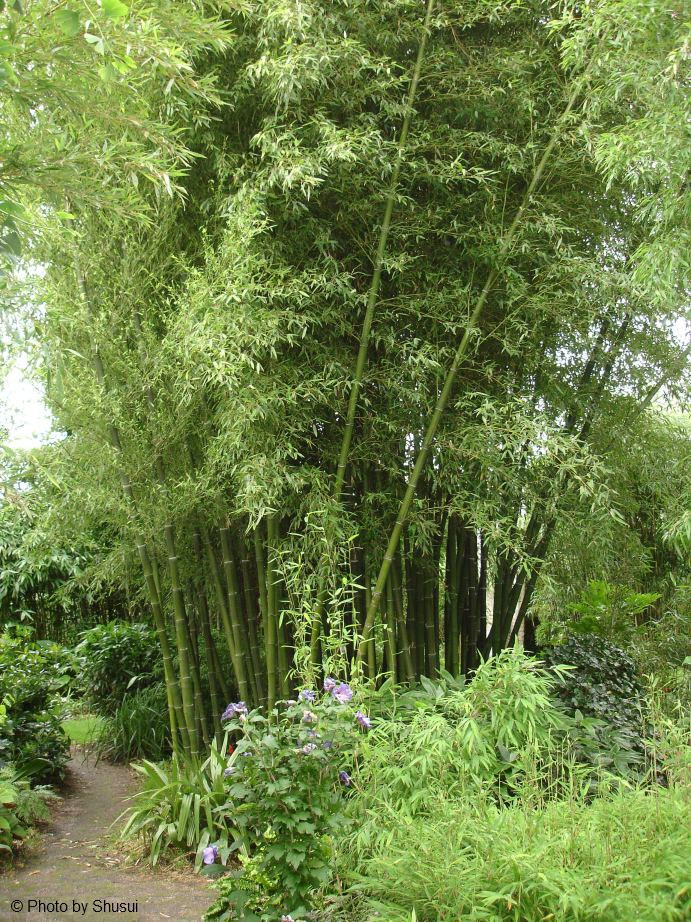 Tout ce qu il faut savoir sur le bambou la palmeraie fr - Tout sur le bambou ...
