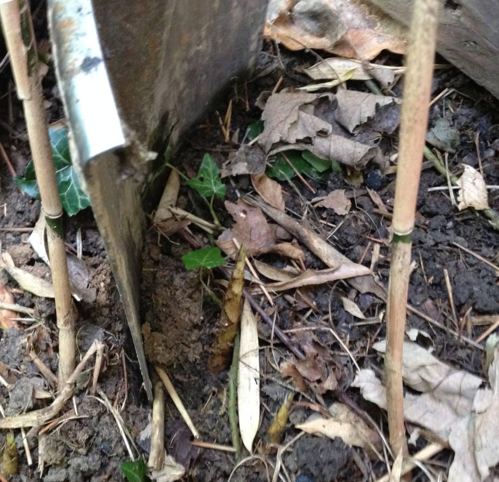 Comment dterrer des bambous bambou fargesia le climat - Comment se debarrasser definitivement des bambous ...