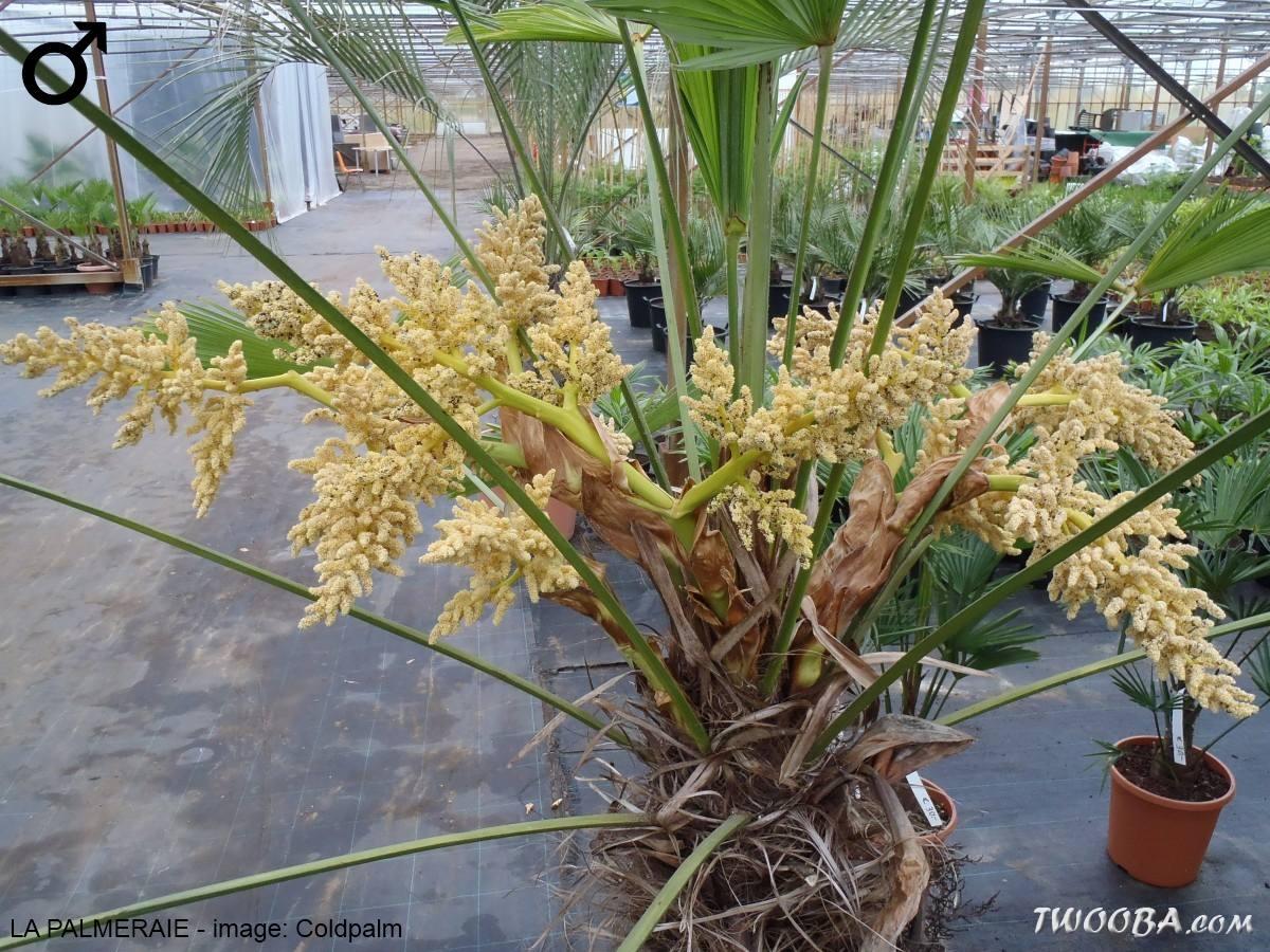Trachycarpus Comment Differencier Le Male La Femelle La