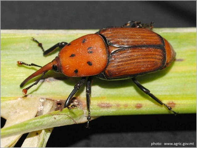 The palm butterfly & Red Palm Weevil: everything you need to know
