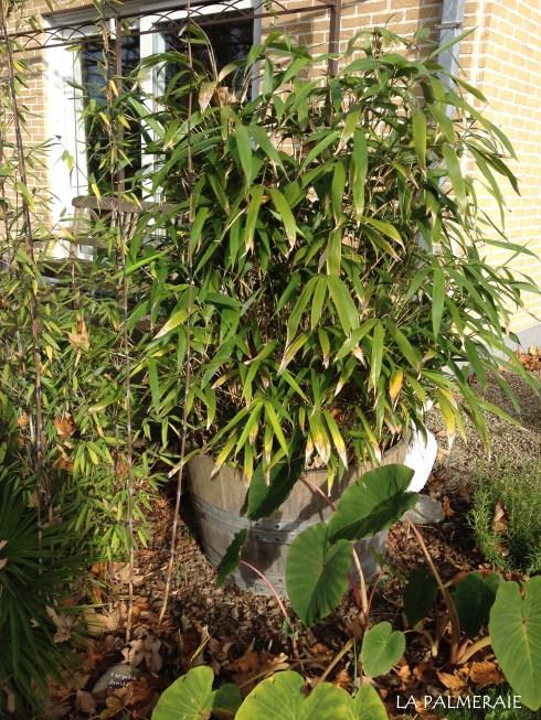 winterharde bamboe in pot