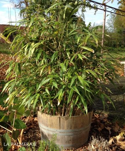 niet woekerende bamboe fargesia