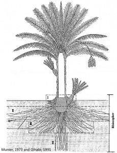 Peut on planter un palmier pr s d 39 une piscine syst me racinaire du palmier la palmeraie fr - Racine d un palmier ...