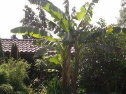 Bananenplant winterhard