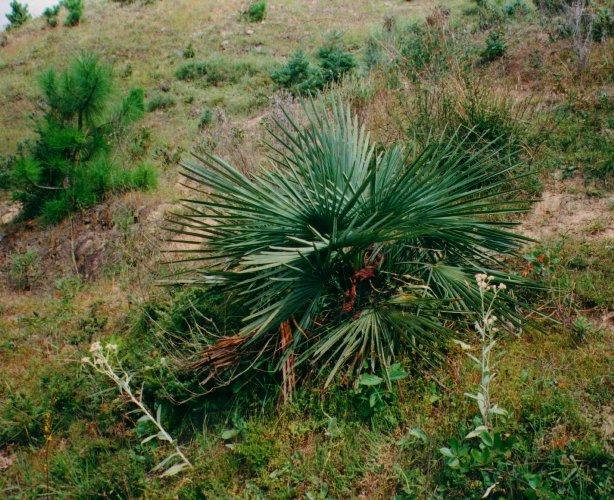 palma mrozoodporna trachycarpus nanus