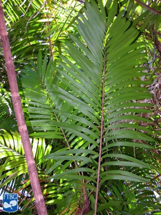 Bactris coloniata blad.jpg