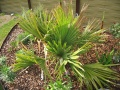( Waterboyke ) Sabal palmetto.JPG
